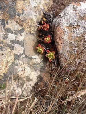 Succulents growing in the crevice of a rock at Fort Ross, California