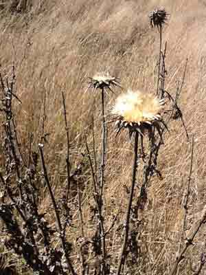 Dried out dead thistles at Fort Ross, CA